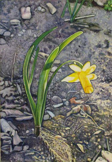 "Daffodil (2008, 11"" x 15.5"") Sold"