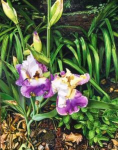"Irises #2, 2019, oil on canvas, 16""x20"", $1,200"